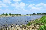 神奈川県相模川で「鮎」大量遡上 震災以来4年ぶり