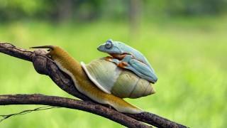 カタツムリタクシー?カタツムリに乗って移動するカエルが可愛いと話題