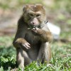ココナッツ猿軍団ーココナッツを採るために訓練られた猿